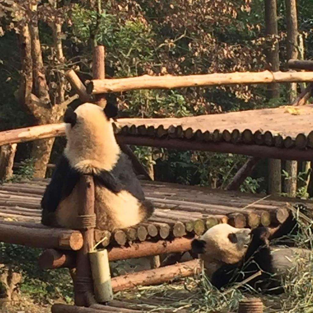 成年熊猫的各种睡姿 我也是服了  还是小熊猫好动活泼可爱