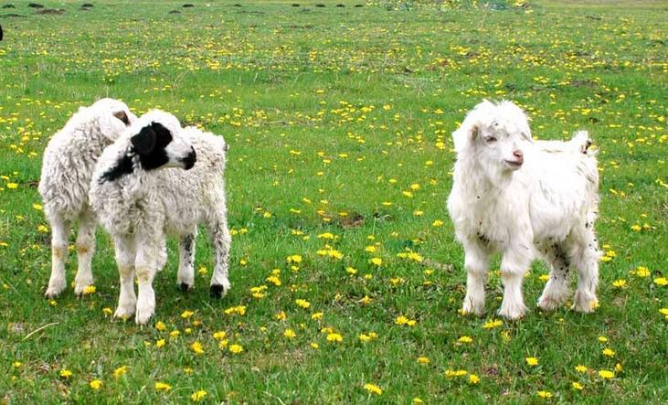 小羊羔好可爱