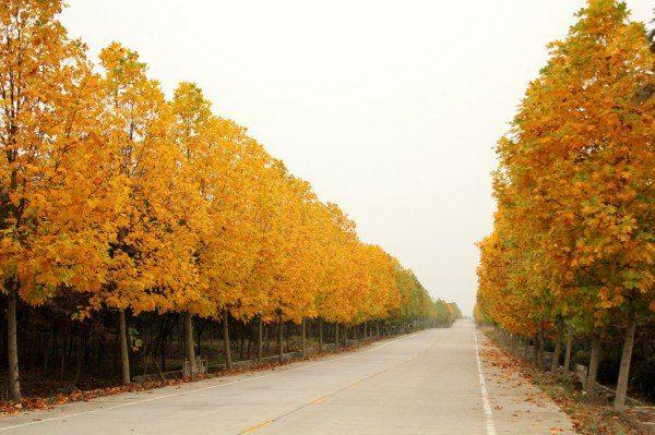 竹镇森林公园 三星路的马褂木在11月上旬就变成了黄金大道,这样的
