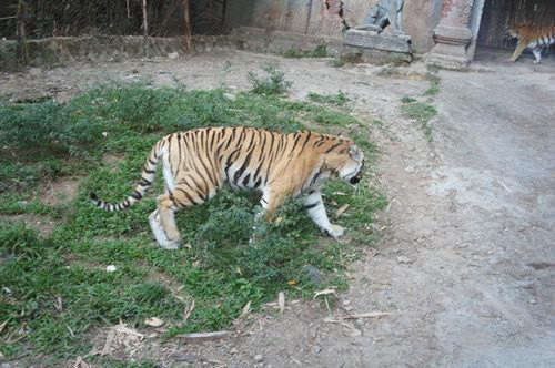 小时候老是有在书上见到---苏门答腊虎,呵呵,这个就是印尼特产的老虎.