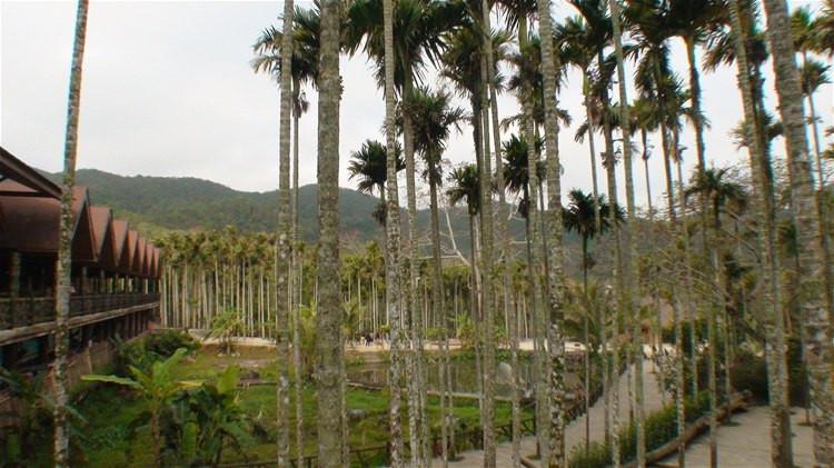 黎族茅屋和船型屋的周围是密布的槟榔树林.