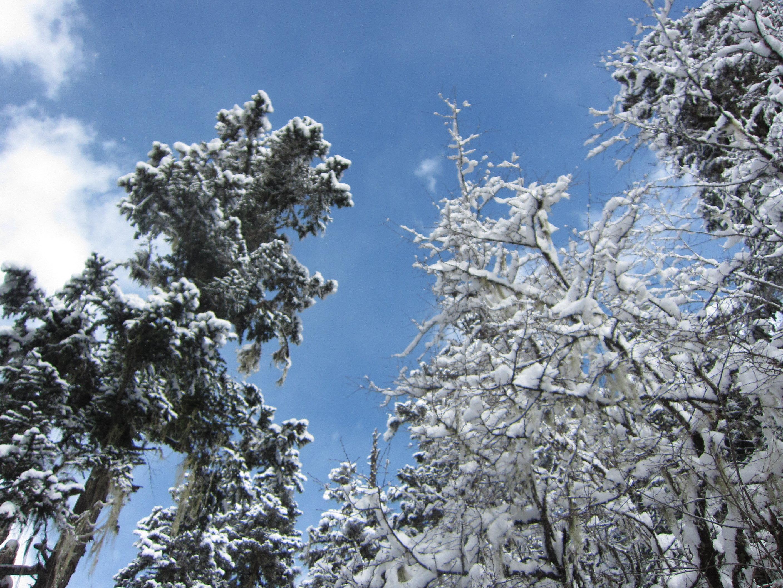 蓝色松树枝素材