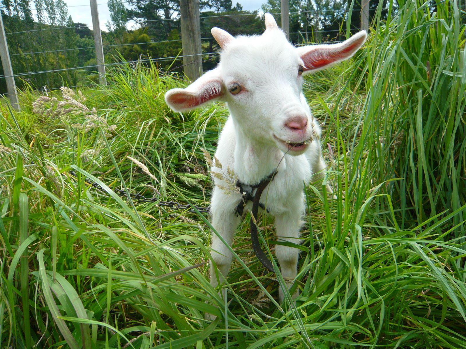 可爱的小山羊,一点都不怕生,还会用头蹭蹭,是在长角咩?