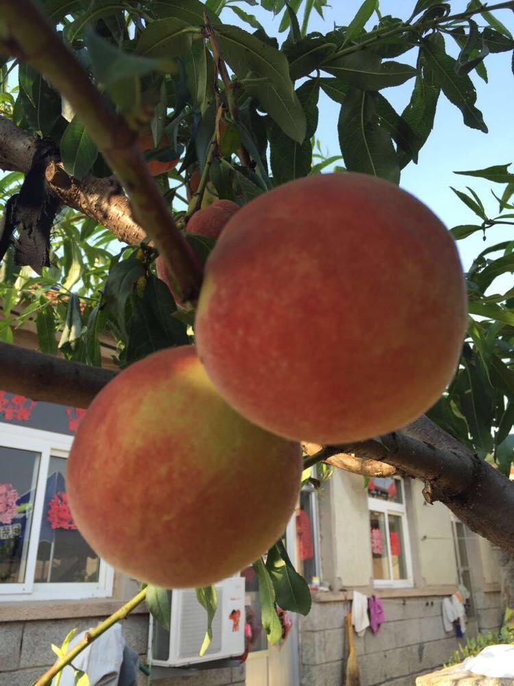 一颗小桃树结满了大大的桃子