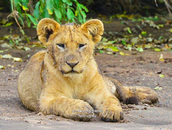 看狮子宝宝萌呆的样子,真的好可爱啊!