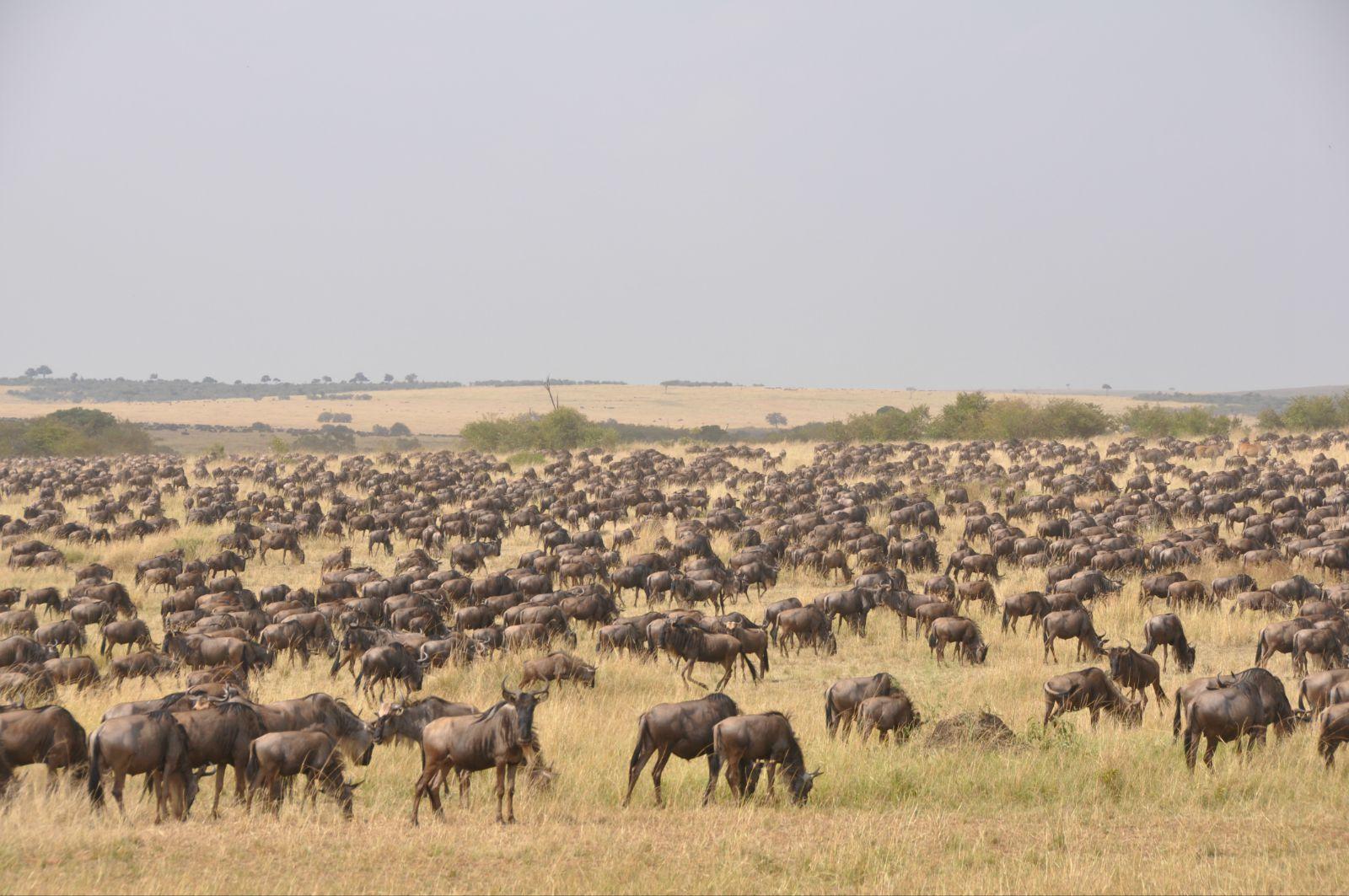 肯尼亚动物大迁徙
