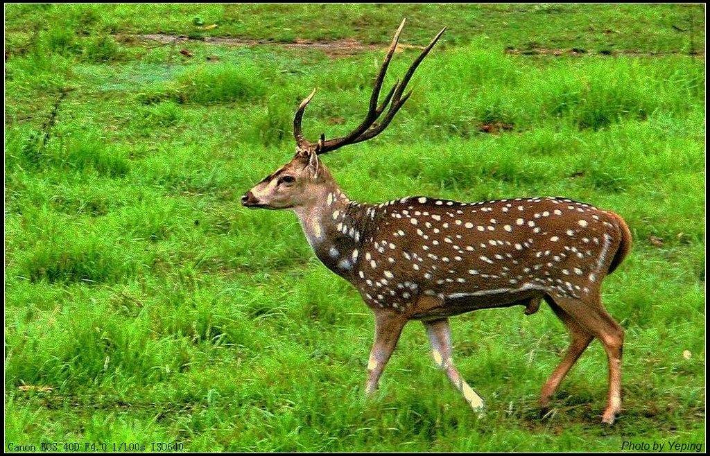 梅花鹿比关在动物园的鹿儿显得更有生气