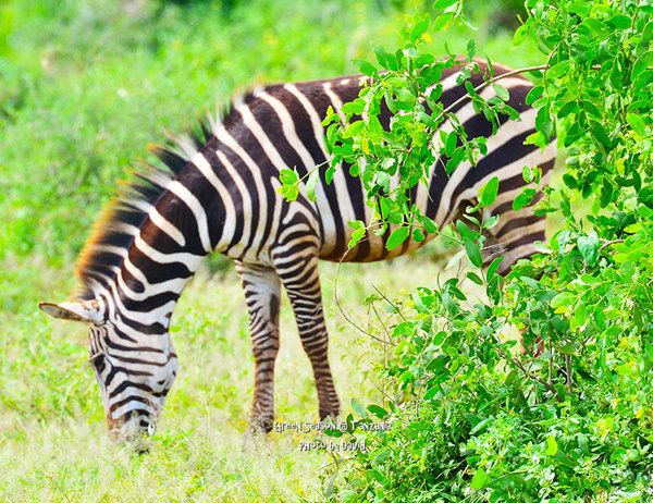 长颈鹿主要喜欢吃树上的树叶,尤其是那些带刺的树叶;斑马吃的都是地
