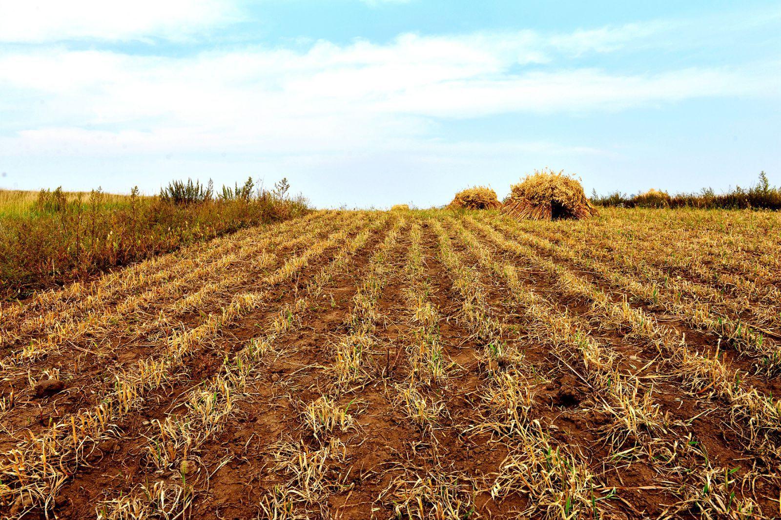稻谷堆图片乡土-稻谷堆图片