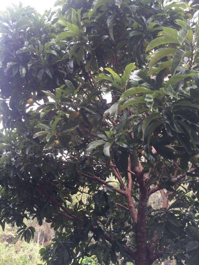 大象的苹果树,也称为猴子面包树.