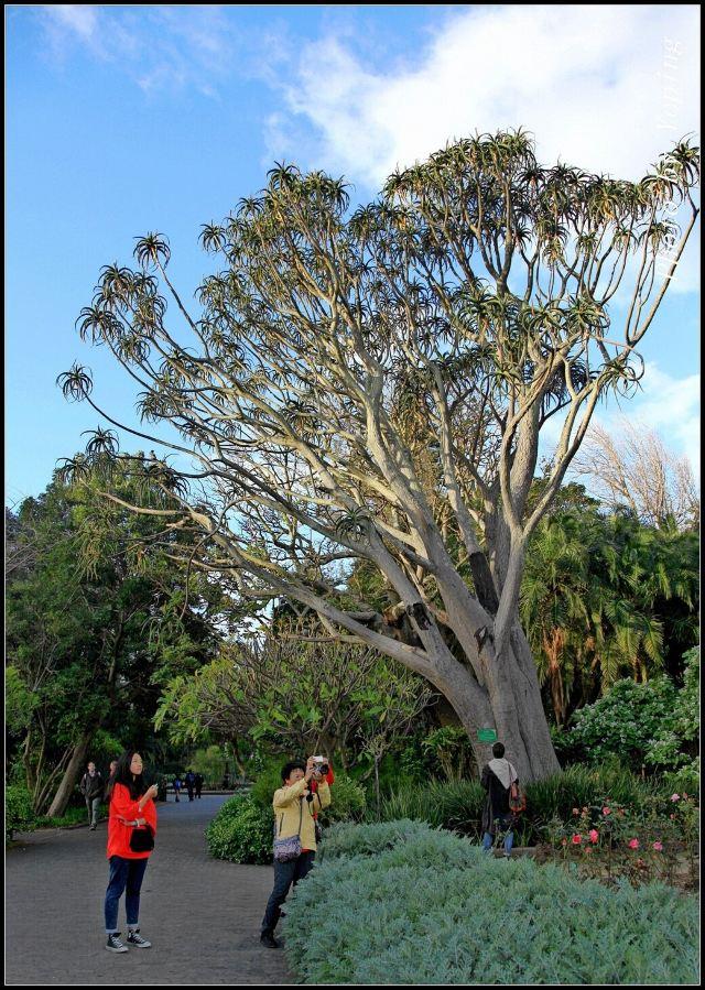 巨大的芦荟树王