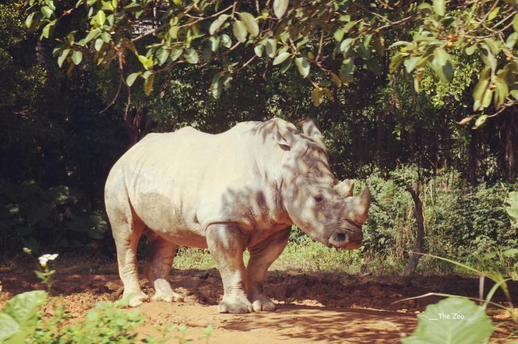 导游让我们拍拍手,再看看犀牛的耳朵,小耳朵一动一动,才看得出它不是