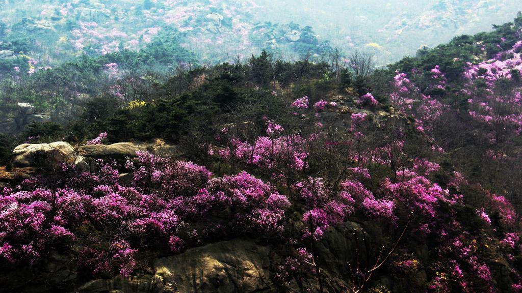 青岛#心动春之旅#大珠山杜鹃花正在盛开怒放之中