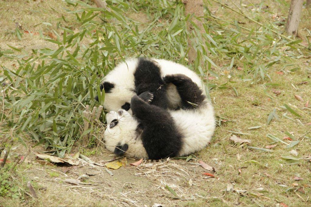 属于小熊猫科,并不是说是小时候的大熊猫哦