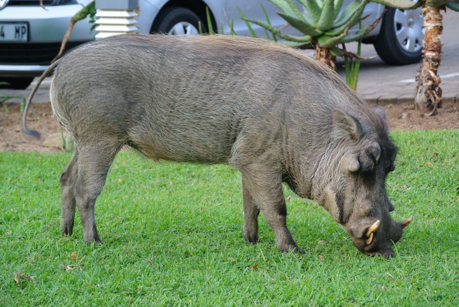 动物 猪 1600_1071