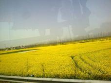 荆门沙洋油菜花节-沙洋-_CFT01****8276487