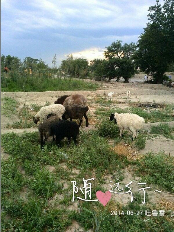 新疆的羊,好大