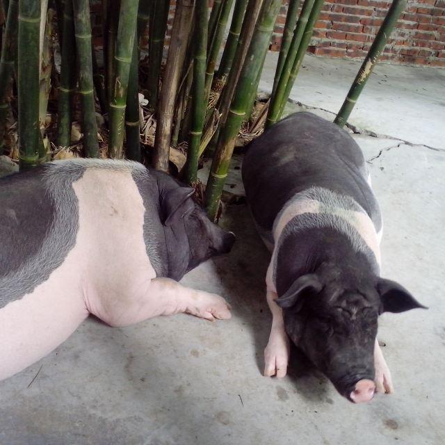 迷你动物园里的大香猪