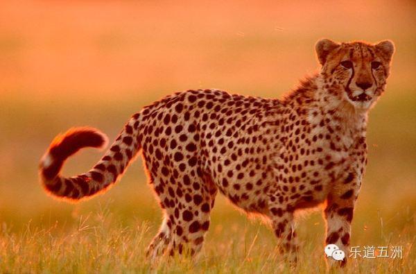 猎豹是陆地上奔跑速度最快的动物