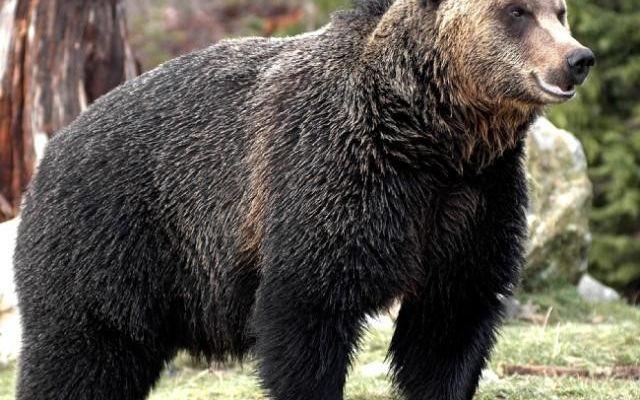 稀有动物的家园,也是加拿大逾半数棕熊和四分之一