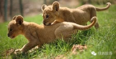 一级保护动物有雪豹,大熊猫