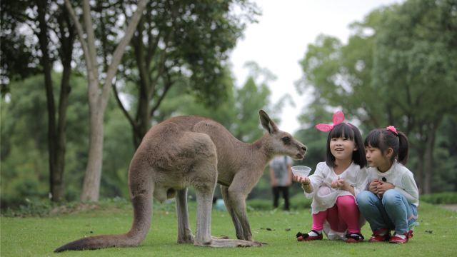 上海野生动物园汇集了世界各地的动物。你可以乘坐游览车观察东北虎、非洲狮、黑熊等猛兽的生活,还可以观看大象、长颈鹿、火烈鸟等动物表演;这里还有备受小朋友们欢迎的小动物乐园,体验亲手投食给羊驼的乐趣。动物园分为放养区和圈养区,放养区除了野兽,还有悠闲觅食的野骆驼、野牦牛、羚羊等食草动物。步行区中则可以看到大熊猫、大象、长颈鹿、火烈鸟、企鹅等各种动物;动物园内精彩的动物表演也相当受追捧,首先上午9至10点间会有大象、骆驼、斑马等动物明星在门口迎接你的到来;接着可欣赏海狮馆内海狮杂耍、竞技场内的群狮群虎秀杂技;