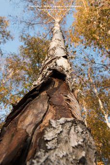 白桦林景区-西乌旗
