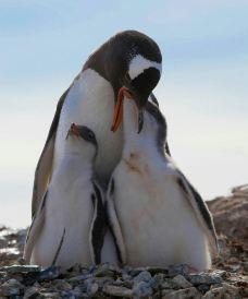 企鹅岛-蓬塔阿雷拉斯-乖小咪