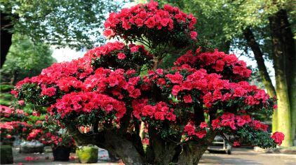 盘龙大观园杜鹃花 (1)