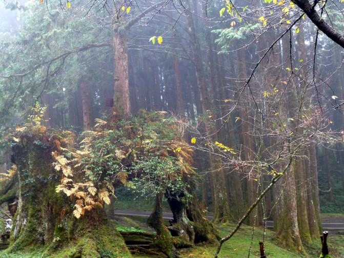 台湾行之四 阿里山的桧木记录着日本人的罪行