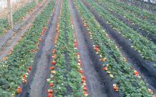 timgCA7J36YM-龙腾牛奶草莓采摘园-大连-一个大橙子