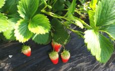 秦氏大樱桃草莓采摘园-汤阴-煮粥婆的日志