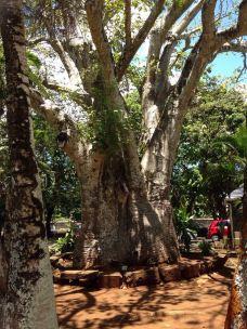 庞普勒斯植物园-毛里求斯-c-z