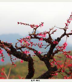 连平游记图文-连平-桃花山上桃花仙